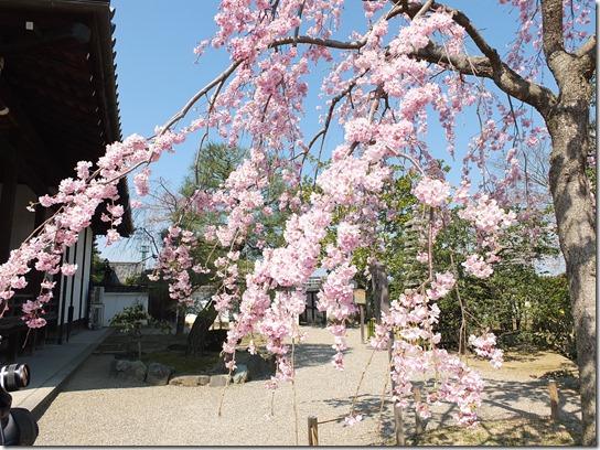 2017京都桜 054