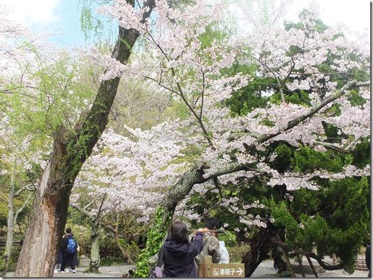 鎌倉 牡丹 桜 054