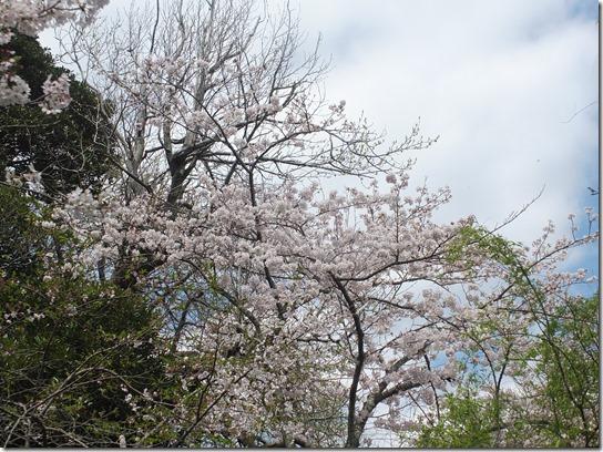 鎌倉 牡丹 桜 056