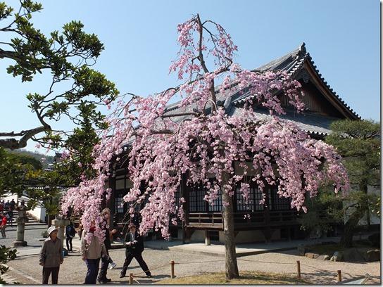 2017京都桜 057