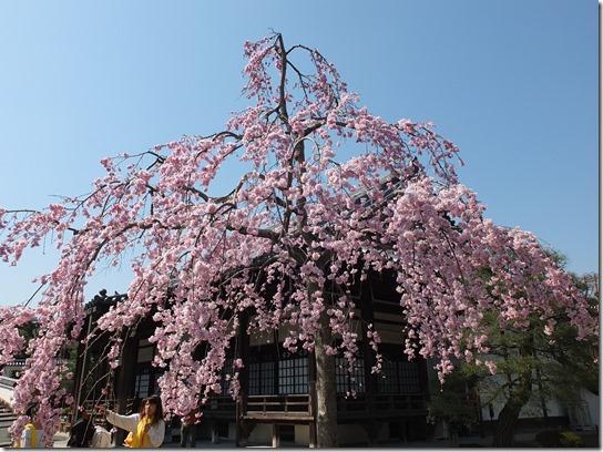 2017京都桜 058