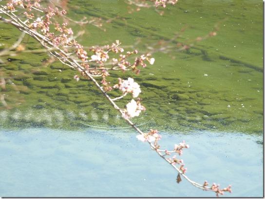 2017京都桜 060