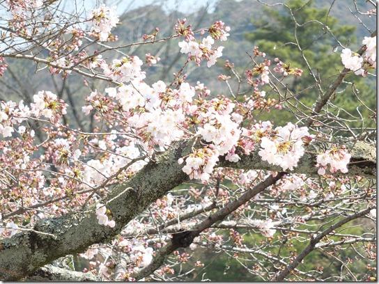 2017京都桜 061