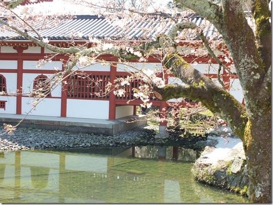2017京都桜 066