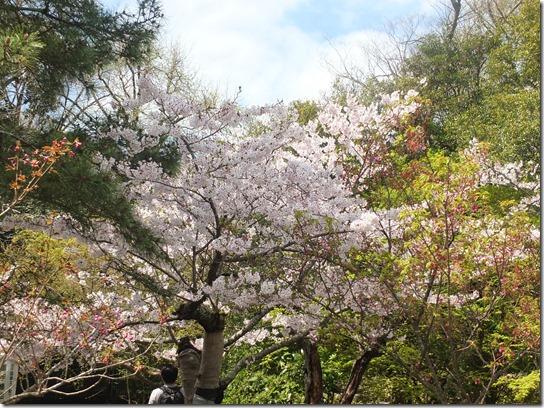 鎌倉 牡丹 桜 066
