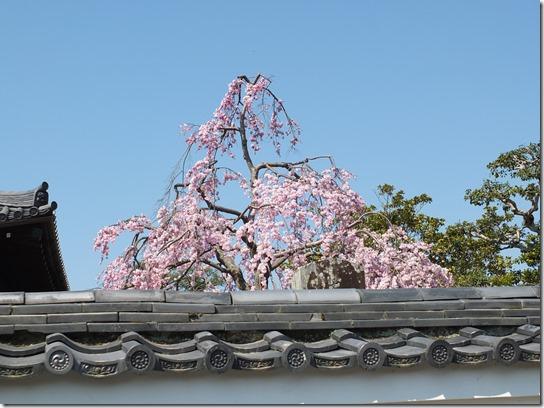 2017京都桜 070