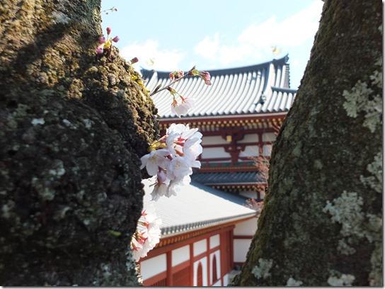 2017京都桜 075