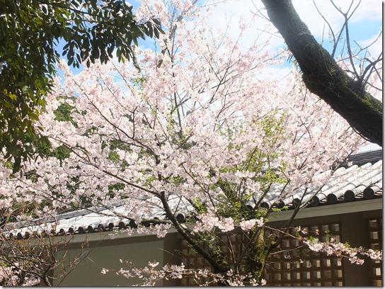 鎌倉 牡丹 桜 076
