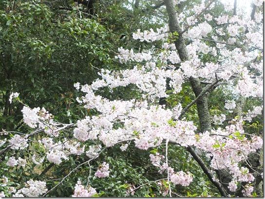 鎌倉 牡丹 桜 082