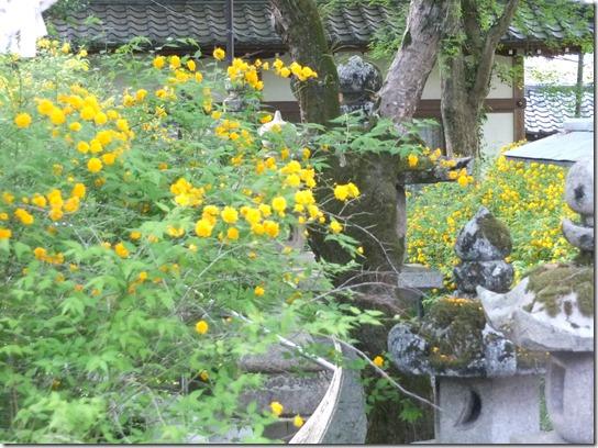 牡丹 関西 2017 092
