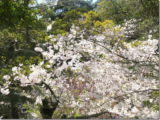 鎌倉 牡丹 桜 092