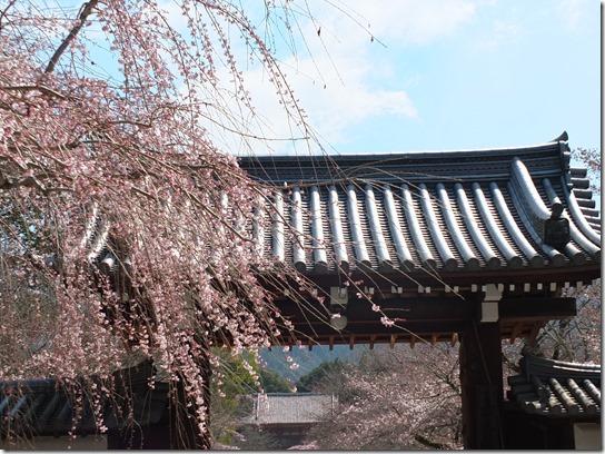 2017京都桜 094