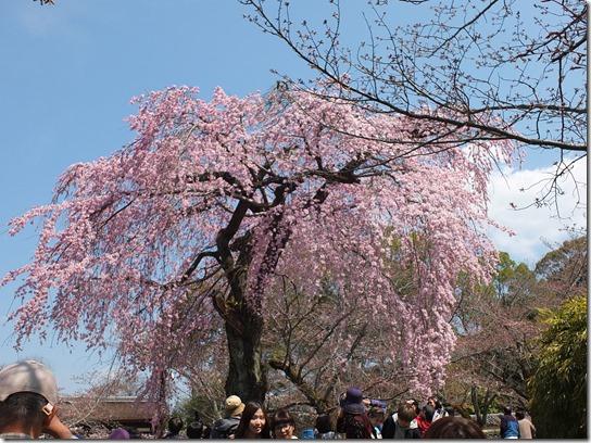 2017京都桜 106