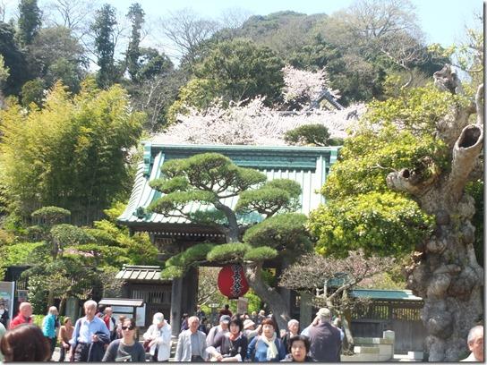 鎌倉 牡丹 桜 106
