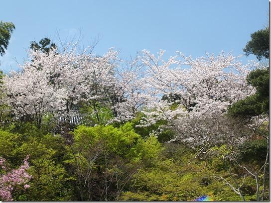 鎌倉 牡丹 桜 108