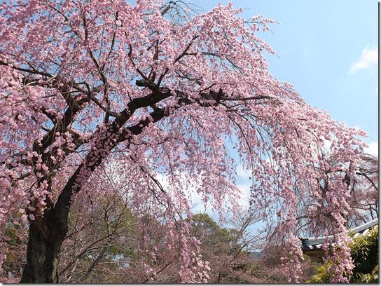 2017京都桜 109