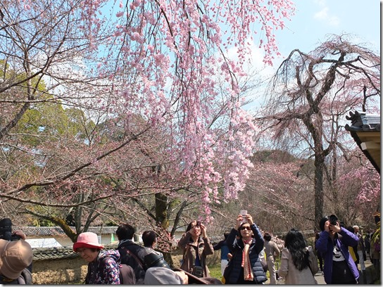 2017京都桜 110