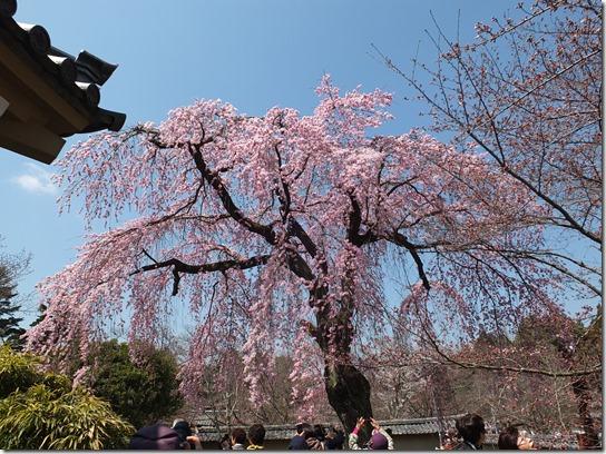 2017京都桜 112