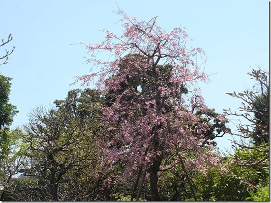 鎌倉 牡丹 桜 112
