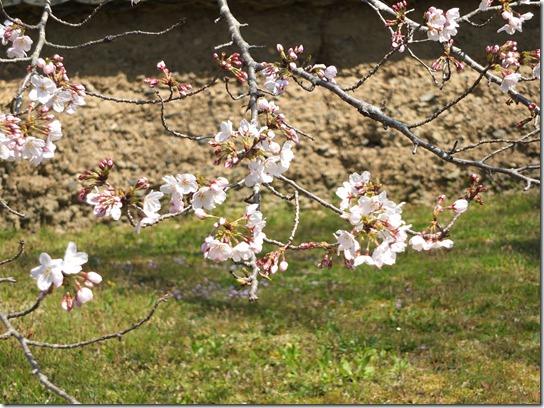 2017京都桜 113