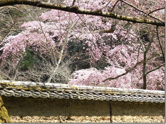 2017京都桜 115