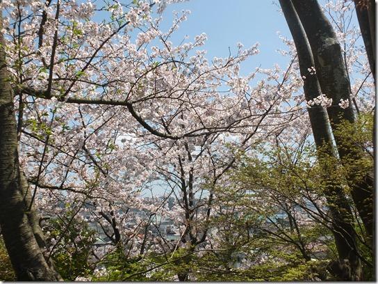 鎌倉 牡丹 桜 120