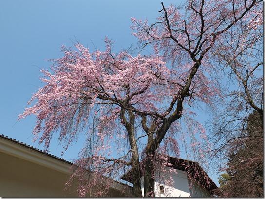2017京都桜 121