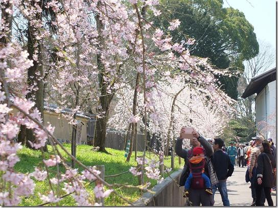 2017京都桜 122