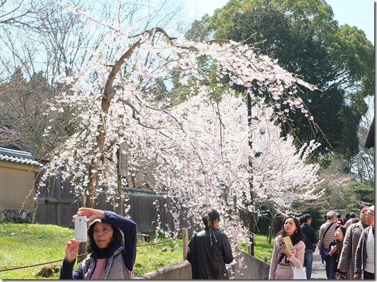2017京都桜 124