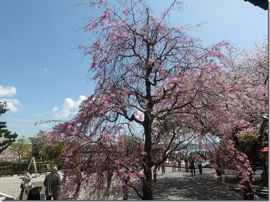 鎌倉 牡丹 桜 124