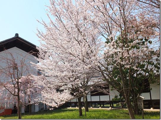 2017京都桜 125