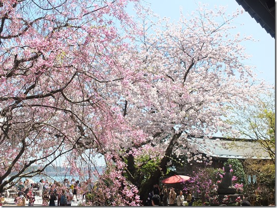 鎌倉 牡丹 桜 125