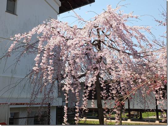 2017京都桜 128