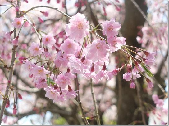 鎌倉 牡丹 桜 129