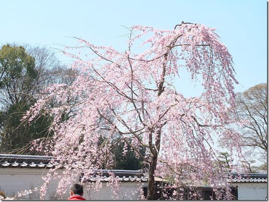2017京都桜 132