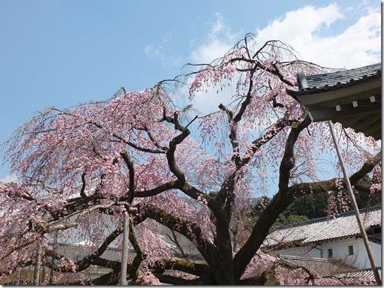 2017京都桜 137