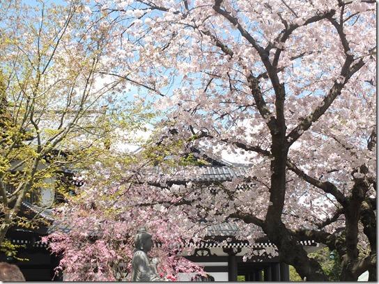 鎌倉 牡丹 桜 137
