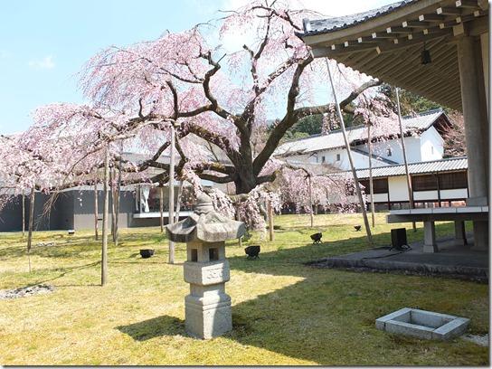 2017京都桜 138