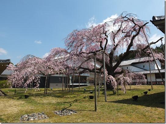 2017京都桜 139