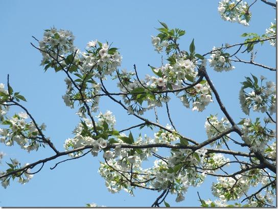 鎌倉 牡丹 桜 141