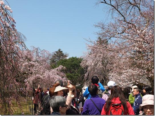 2017京都桜 142