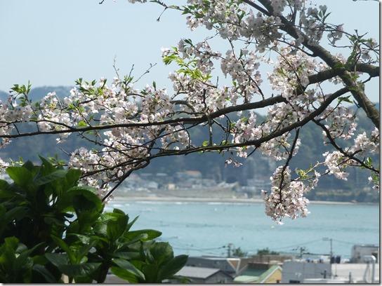 鎌倉 牡丹 桜 146