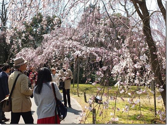 2017京都桜 155