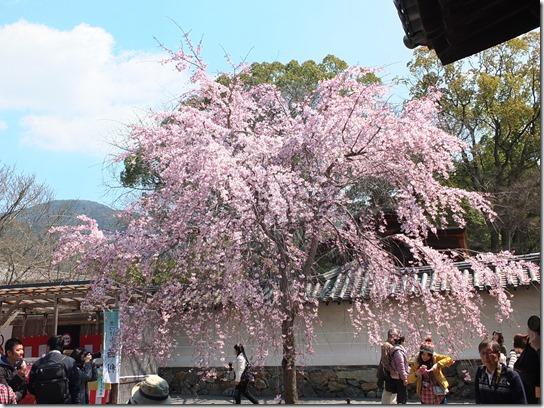 2017京都桜 160