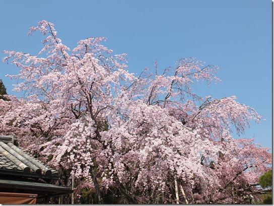2017京都桜 161