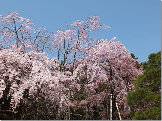 2017京都桜 162