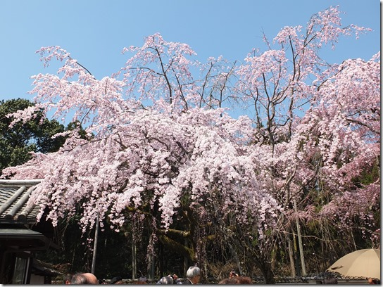 2017京都桜 163