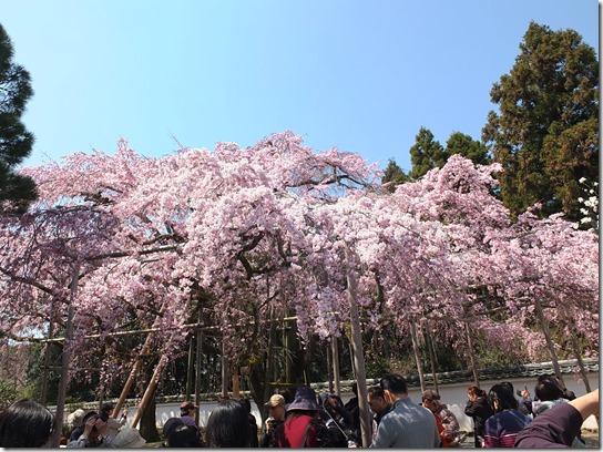 2017京都桜 166