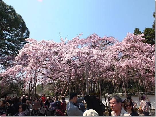 2017京都桜 168