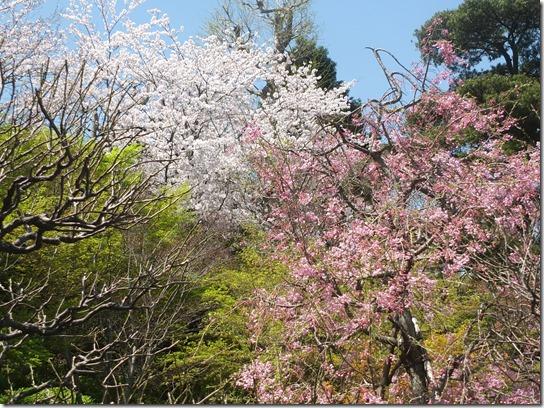 鎌倉 牡丹 桜 172
